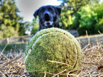 dog tennis ball doggy puppy play time playing