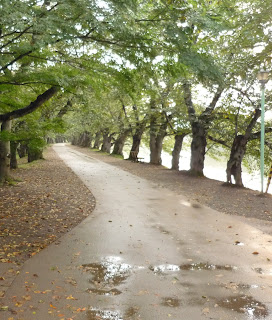 Sakura grove at Hirosaki Park. Sans blossoms