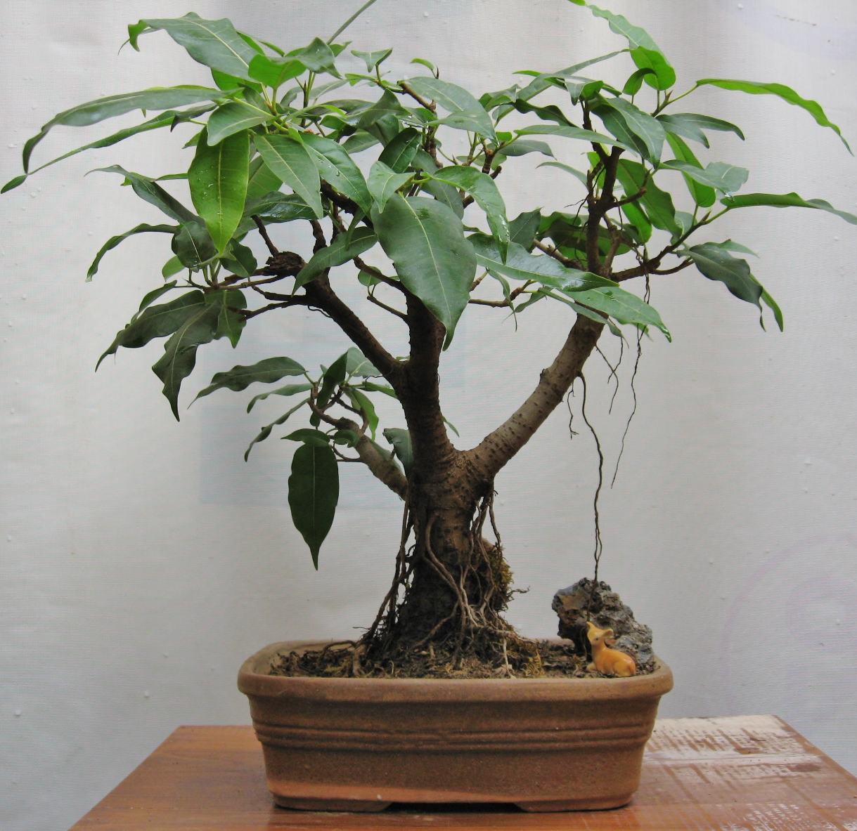 Ficus Virens Or Pilkhan BONSAIS PLANTS AS GIFTS LANDSCAPING