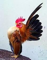 anakan ayam serama