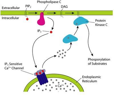 external image fosfolipasa+c.jpg