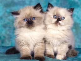Persian x siamese cat for sale