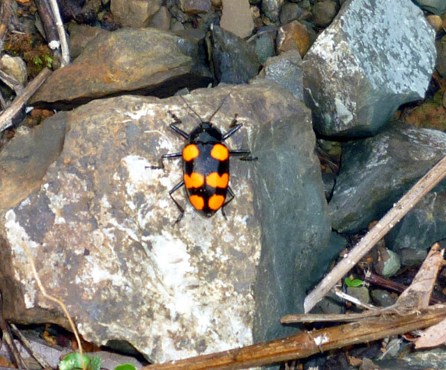 Photo of colorful beetle in Ojochal, Costa Rica