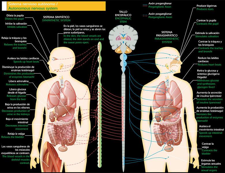 Diferencia Entre Sistema Nervioso Central Y Periferico Y Autonomo