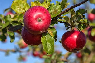 pomonabacken äpplen villa natura österlen