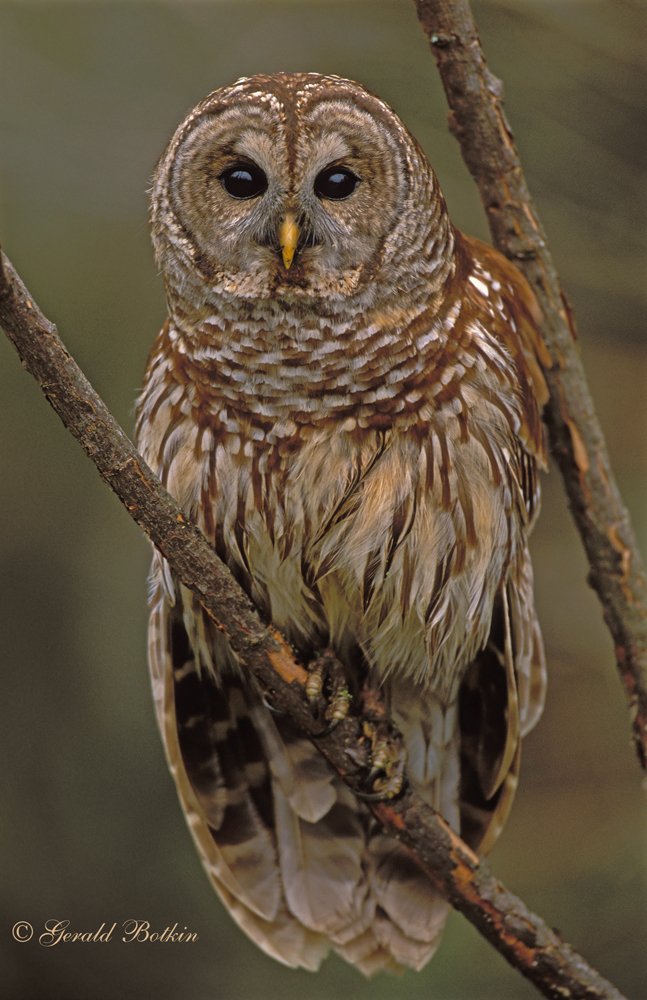 Adult size of a barred owl