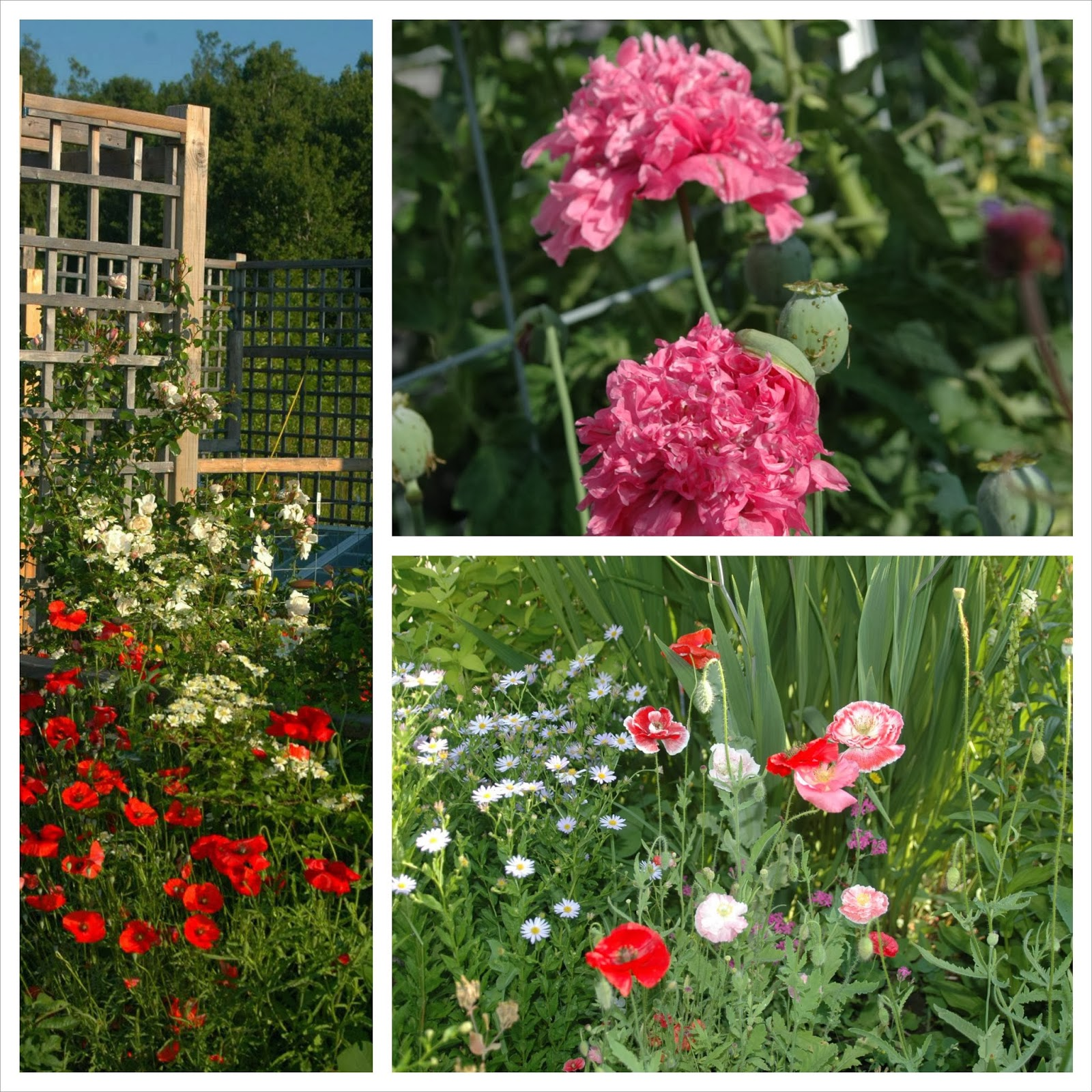 "Papaver rhoeas, papaver sumniferum and papaver rhoeas ""Shirley"""
