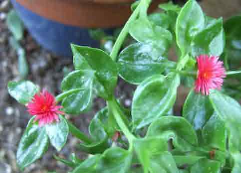 Aptenia or Babysunrose