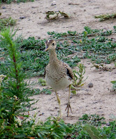 Upland Sandpiper,