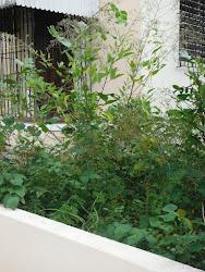 Arbusto del cual comio Spindalis zena hace dos dias