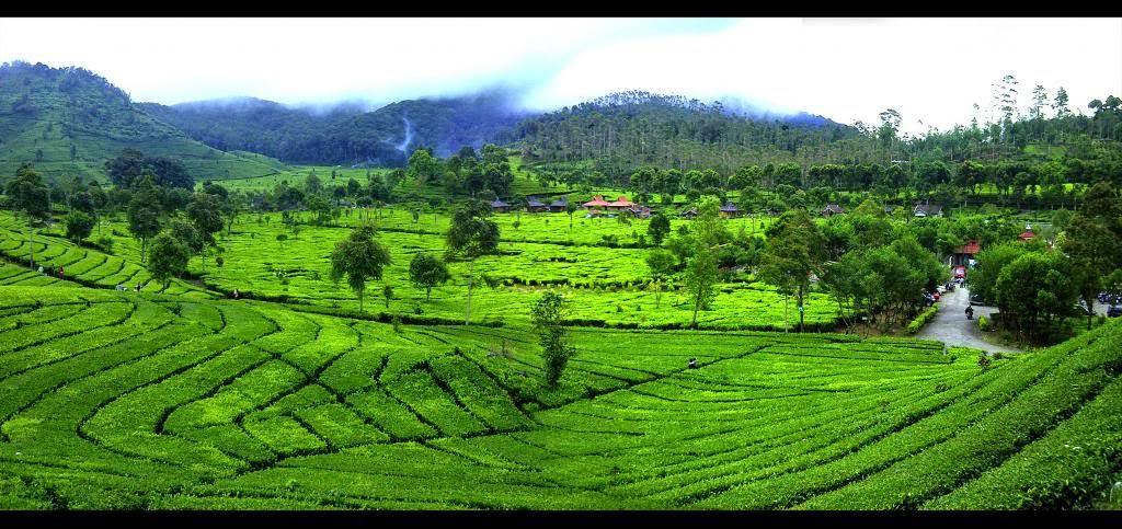 ladang teh bandung