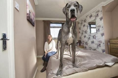 Masih Bayi, Anjing ini Sudah Setinggi 2,25 Meter!