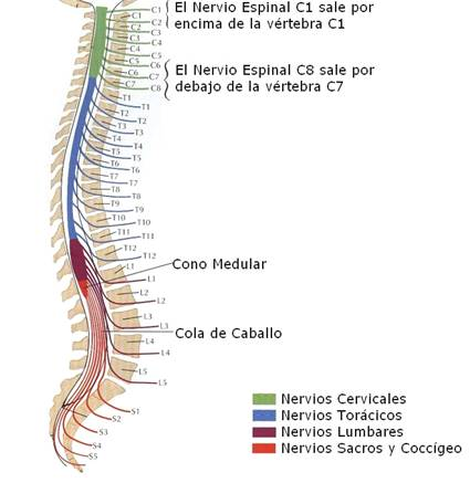 SISTEMA NERVIOSO (BIOMECANICA-FISIOLOGIA-MORFOLOGIA)