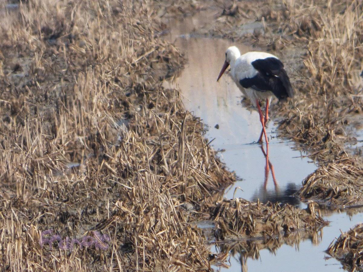 Cigüeña blanca (Ciconia ciconia) White stork