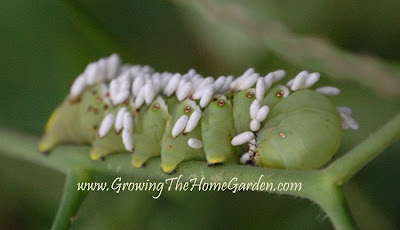 tomato hornworm with parasitic wasps