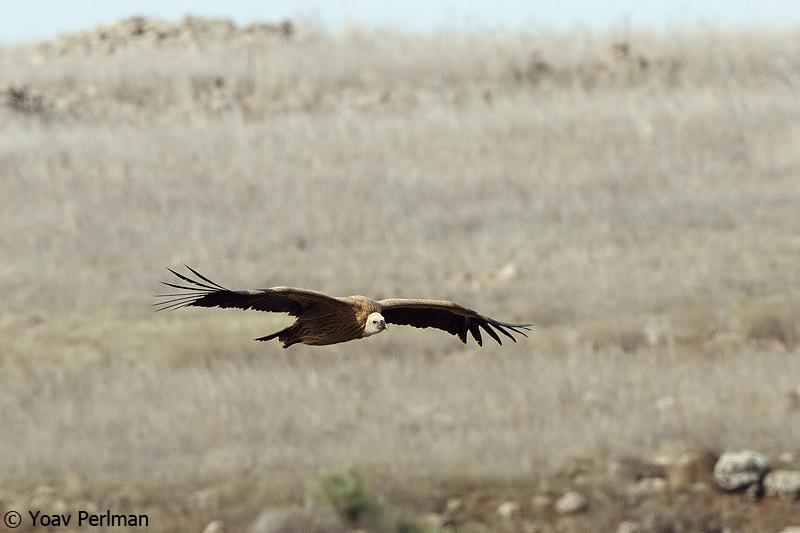 Yoav Perlman - birding, science, conservation, photography: Hula ...