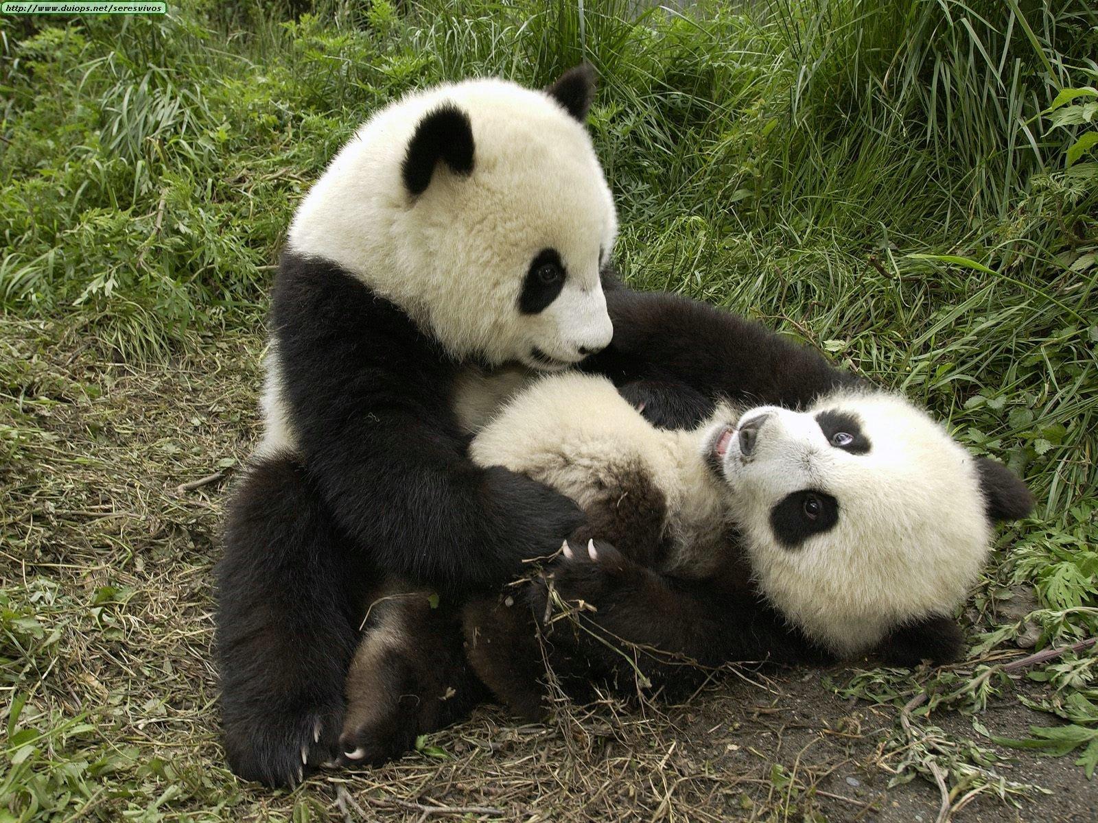 Animales, todas las especies Playful+Pandas