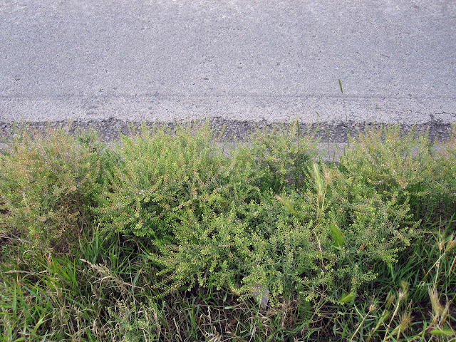 Narrow-Leaved Pepperwort, Lepidium ruderale, by the roadside on Croydon Road, Hayes Common, 18 June 2011