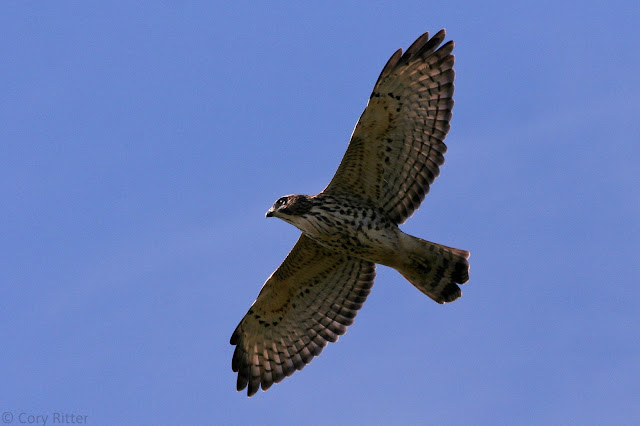 Immature Broad-winged Hawk
