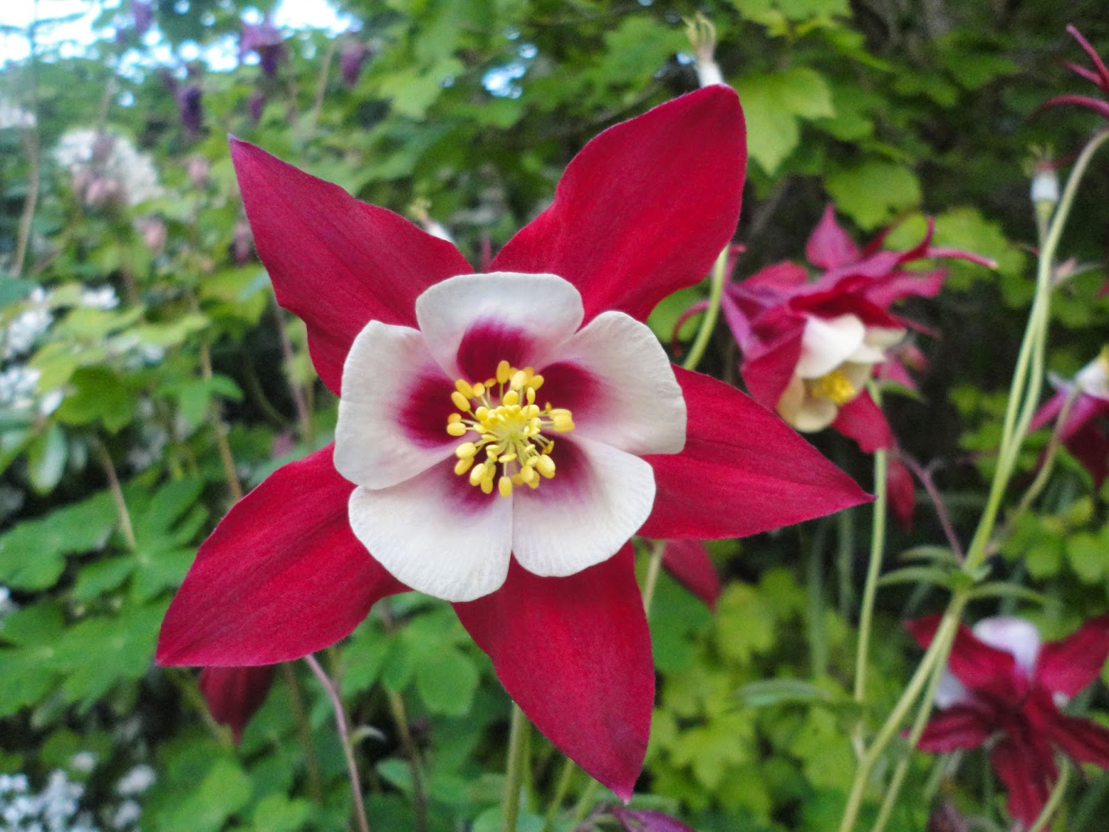 Plant sale plus this aquilegia is flowering right now and is another of the plants i have for you to buy this coming saturday i have never seen such huge flowers on an izmirmasajfo Gallery
