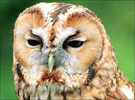 Bird flower and fish tawny owl for Do owls eat fish