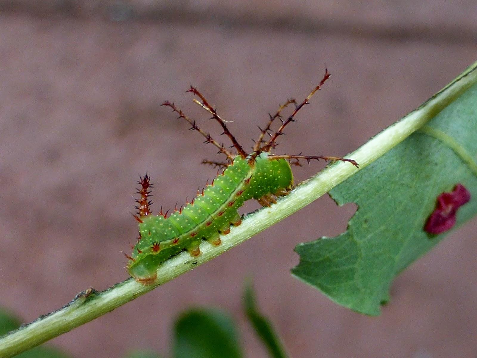 Syssphinx molina caterpillar
