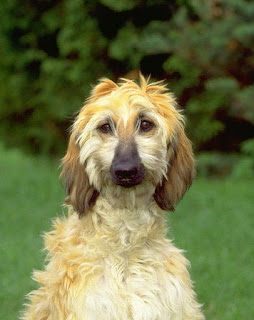 Afghan Hound Puppy Picture