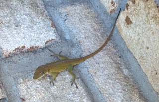green carolina anole on beige bricks