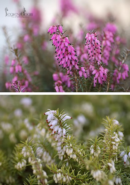Pink and White Erica carnea