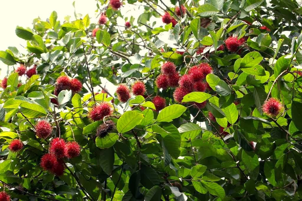 All About Beautiful Bali: Bali - the mysterious Rambutan tree