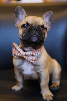 How to Groom a French Bulldog?