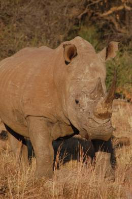 wildlife vacation rhino south africa