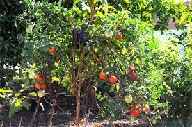 Solanum torvum dall 39 orto al giardino for Melanzane innestate