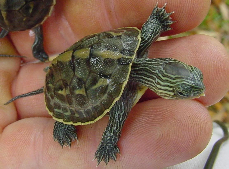 Harga kura kura semi akuatik drh fira sovica for Prezzo tartarughe