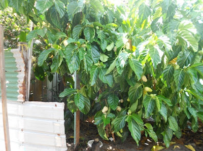 Noni Tree grows well in Belize's Tropical Climate - McKinley Pritchard