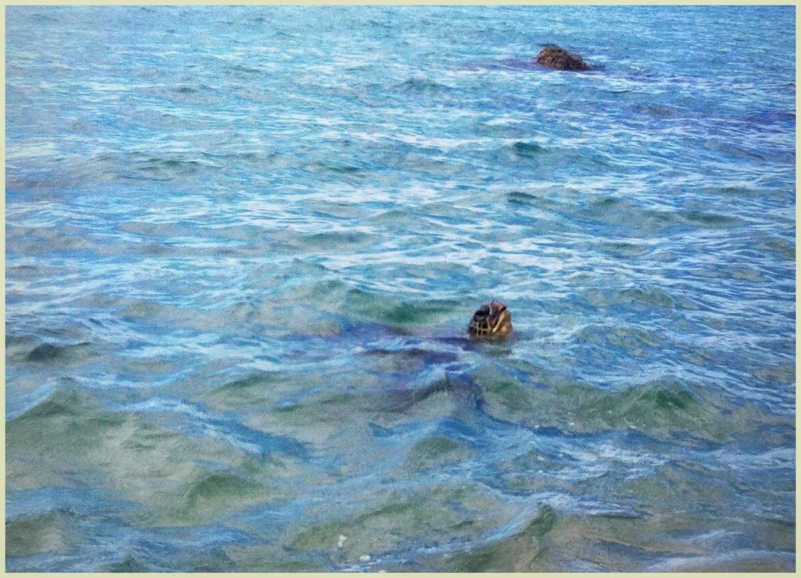 """tortuga verde sacando la cabeza Maui"""