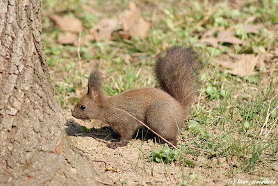 Veverita Sciurus vulgaris Red Squirrel Scoiattolo Écureuilroux Eichhörnchen Európai mókus