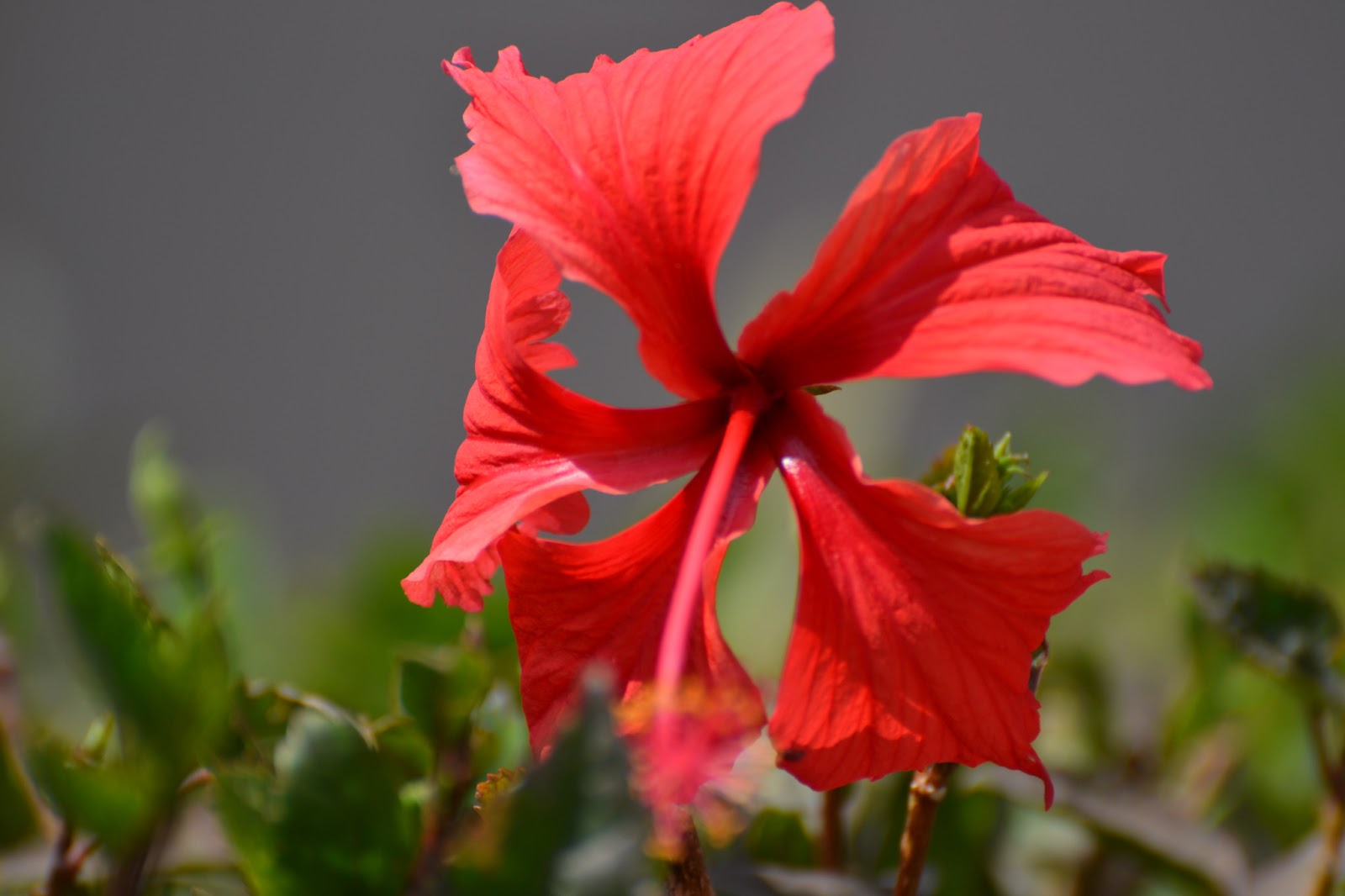 My thoughts, the way they stumble upon me...: The Pink Hibiscus Flower