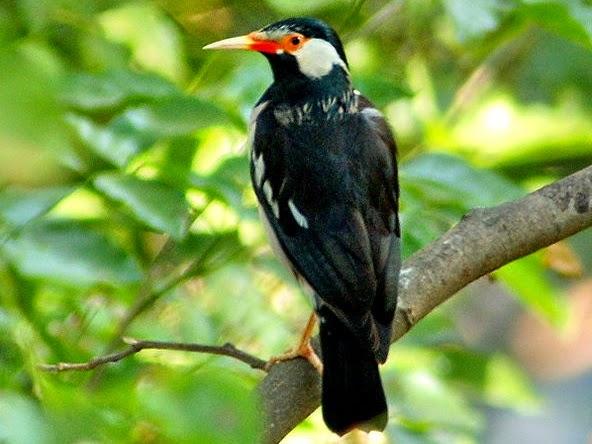 Jalak Suren Reinkarnasi Manusia Burung Penjaga Rumah