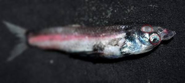 Rhynchohyalus Natalensis
