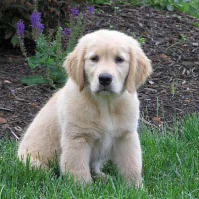 Golden Retriever Puppies Picture