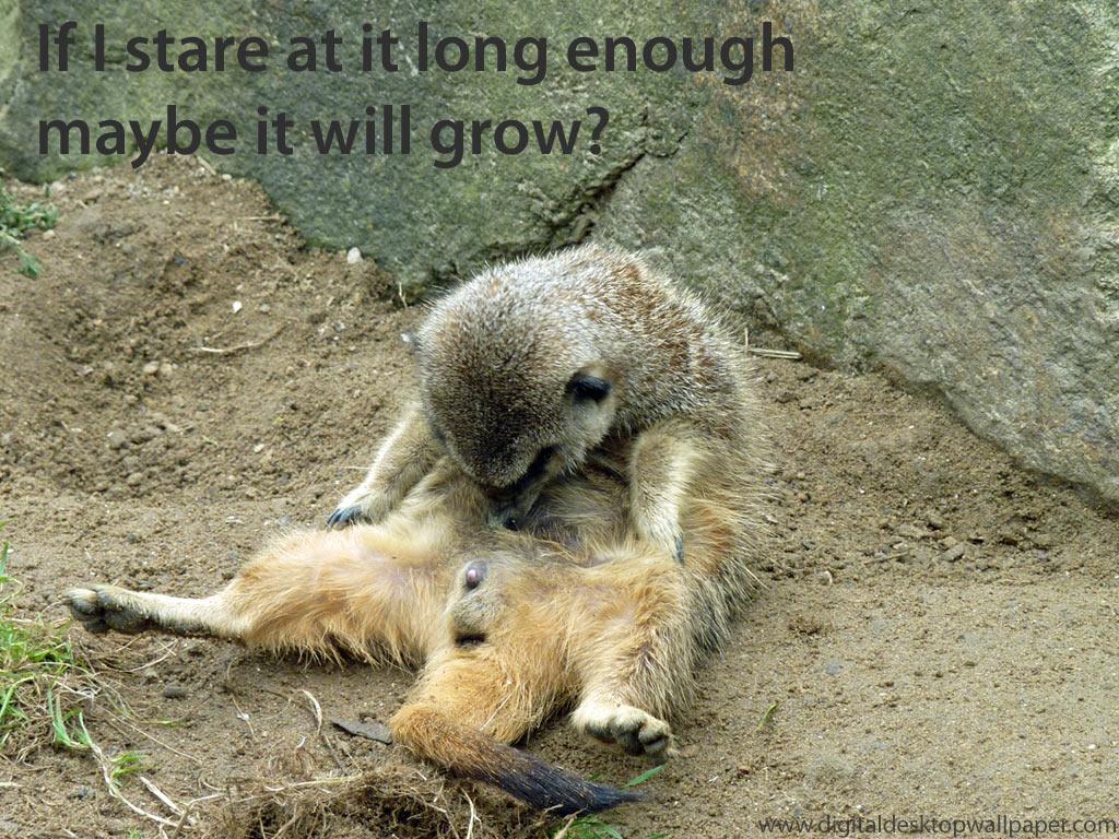 Funny meerkat pictures - photo#3