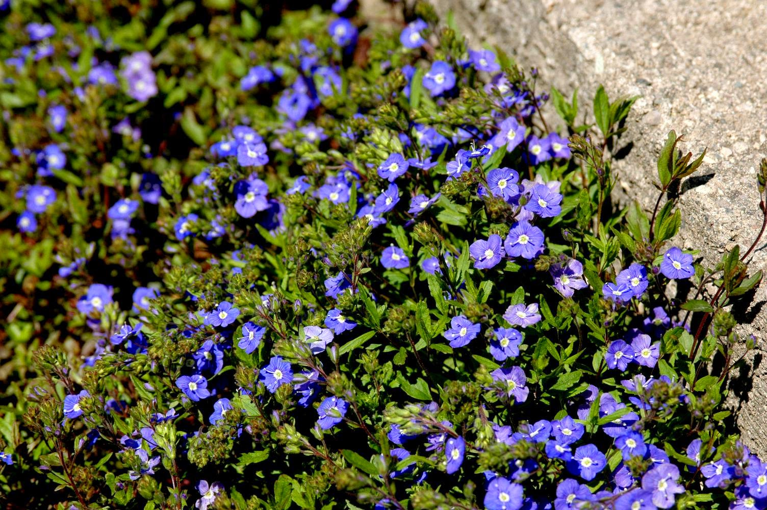 Speedwell 'Georgia Blue'