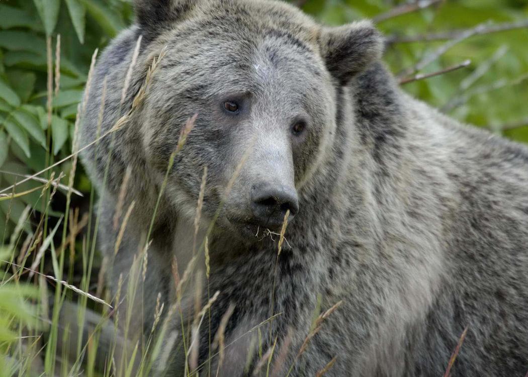 Grizzly bear - Wikipedia