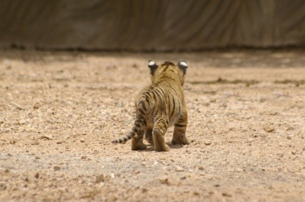 baby animals, cute animals, tiger cubs