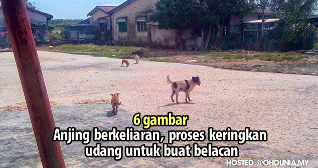 Jijik.. Anjing berkeliaran, proses keringkan udang untuk buat belacan