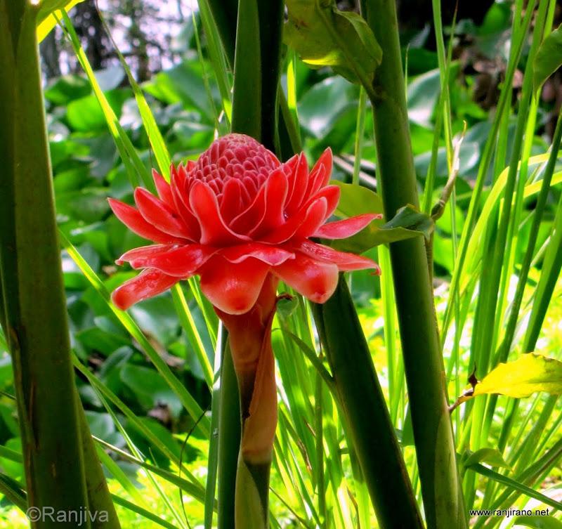 Fleur exotique rose de porcelaine paysages et fleurs for Plantes exotiques artificielles