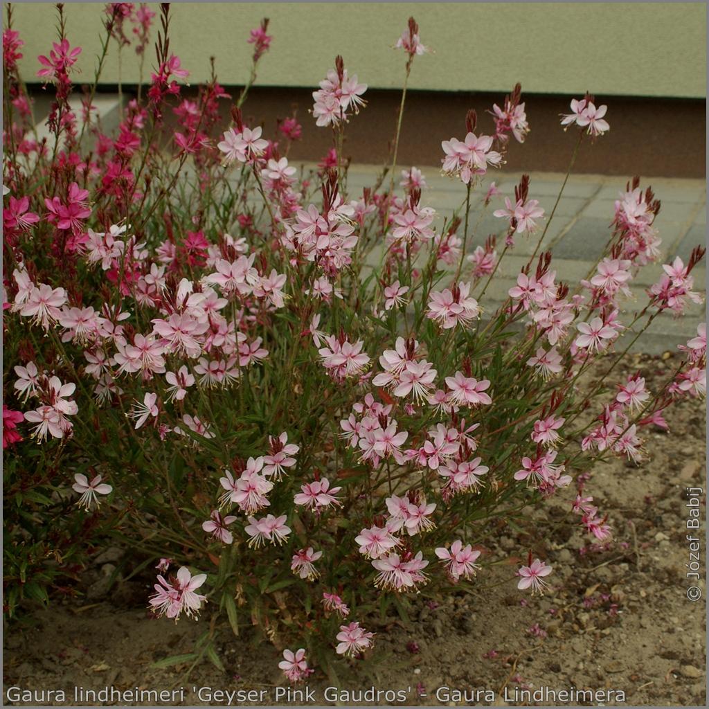 Gaura lindheimeri 'Geyser Pink Gaudros' - Gaura Lindheimera  'Geyser Pink Gaudros'