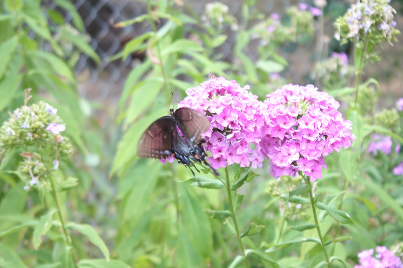 Old Fashioned Flowers Have The Most Butterfly Nectar