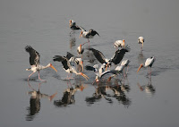 Fishing Painted Storks, India